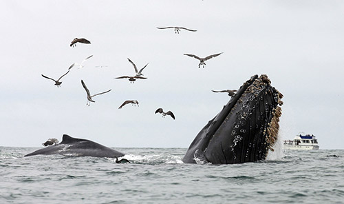 Good news about Humpback whales