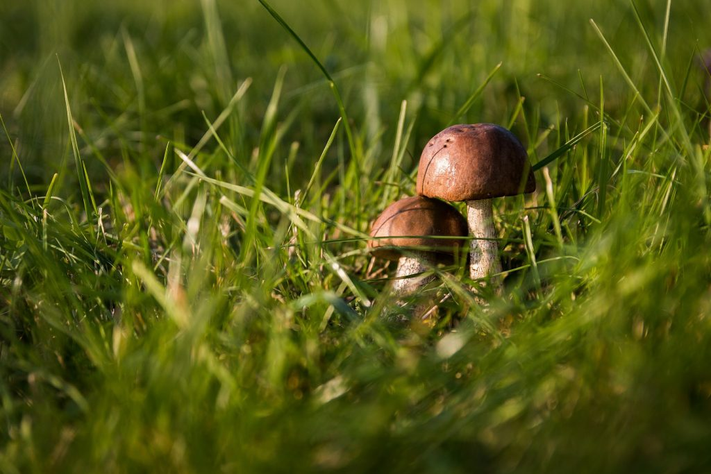 Mushrooms in Lawn Grass