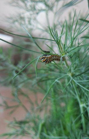 Black Swallowtail Butterfly Larvae on Dill in Garden