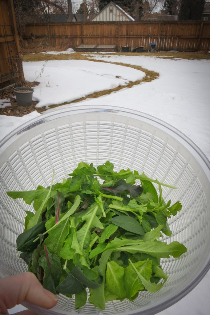 Colorado Cold Frame Greens, February 17, 2020